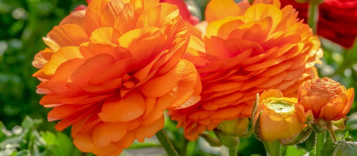 ranunculus, flower, blossom-4076082.jpg